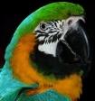 В зоопарке Калининграда попугай успокаивается только под