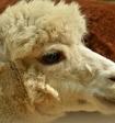 Опубликовано видео, как лама из сафари-парка довела мальчика до истерики