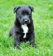 В Госдуме предложили ввести понятие «опасные породы собак»