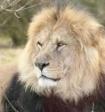 Пользователи сети смогут следить за выпуском львов в сафари-парке