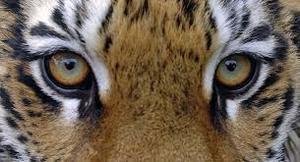 В полицию сообщили о тигре, гуляющем по ТЦ в Хабаровске