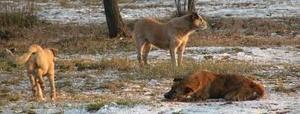 Мэрия Анадыра уничтожит всех бездомных животных