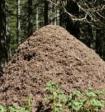 В Подмосковье найден уникальный муравейник