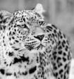 Учёным удалось заснять крайне редких белых ягуара и жирафа