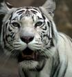 В Московском зоопарке умерла белая тигрица